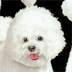 Real Bichon Frise Dogs on Black