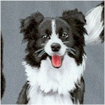 Border Collies on Gray