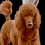 Real Poodles on Black