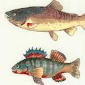 FISH-fish-S457