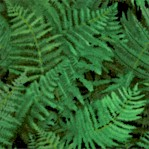Landscape Medley - Packed Ferns