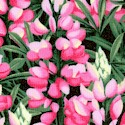 Sow Much to Love - Lovely Lupines
