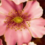 Sympatico - Elegant Prarie Roses