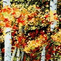 Harvest - Beautiful Birch Trees
