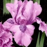 FLO-irises-W676