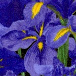 Fresh Market Flowers - Magnificent Irises