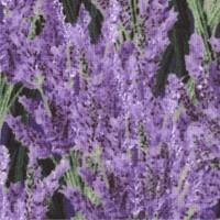 FLO-lavender-Z646