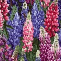 Beautiful Lupines