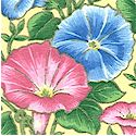 FLO-morningglories-B143