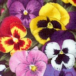 Lovely Pansies - BACK IN STOCK!
