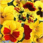 Lovely Pansies - Yellow