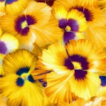 Nature Studies - Pansies #1