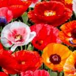FLO-poppies-Y730