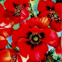 Fantasy- Colorful Poppies on Blue