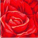 FLO-roses-M649
