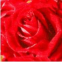 FLO-roses-P740