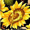 Sunflower Serenade on Black