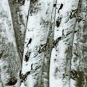 FLO-trees-S162