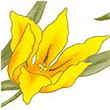 Fete des Fleurs - Tossed Gilded Tulips on Ivory