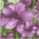 State Flowers - Violets