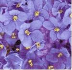 FLO-violets-X97
