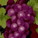 WINE-grapes-U183
