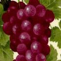WINE-grapes-U184