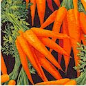 Tossed Fresh Bunches of Carrots on Black- LTD. YARDAGE AVAILABLE in 2 pieces