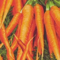 Farmer's Market - Beautiful Bunches of Carrots