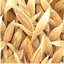 Farm Living - Field of Corn-BACK IN STOCK