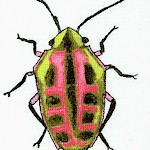 AN-beetles-W546