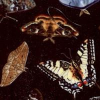 AN-butterflies-Z950