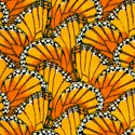 Packed Monarch Butterfly Wings - BACK IN STOCK!