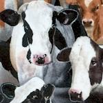 AN-cows-U848