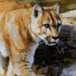 Boulder Creek - Majestic Lions