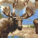 AN-moose-S461