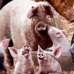 Farm Animals - Real Pigs Up Close