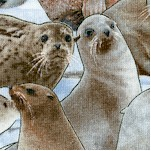North American Wildlife - Packed Seals and Sea Lions