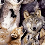 North American Wildlife - Packed Wolves