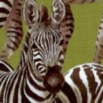 AN-zebras-W512