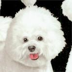 DOG-bichon-Y593
