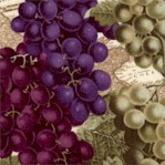 Bunches of Grapes on Vineyard Map Background - LTD. YARDAGE AVAILABLE