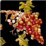 WINE-grapes-X392