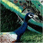 Pageant of Color - Magnificent Peacocks byJocelyn Beatty