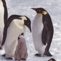 Emperor Penguins on Ice