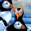 Adorable Puffins at Sea
